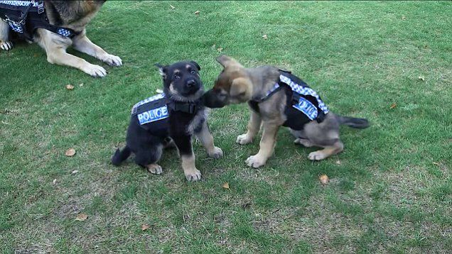 Video Shows Adorable Police Puppies Trying Out Stab Resistant