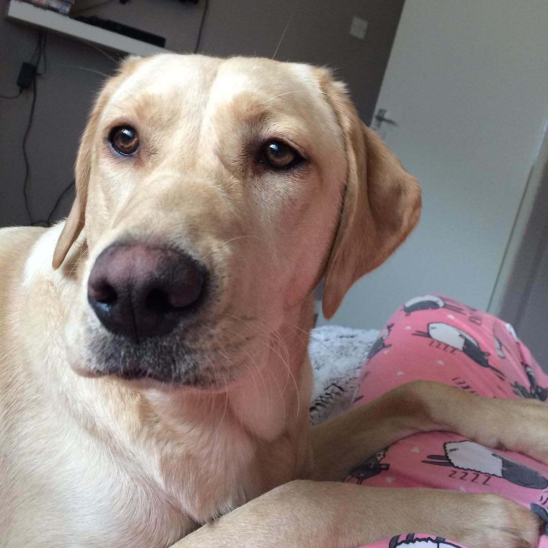 Why Is My Nose Starting To Change Colour Am I A Chameleon Fab Labs Justlabradors Lab Talesofalab Topdogphoto Dog Photos Color Change Labrador Retriever