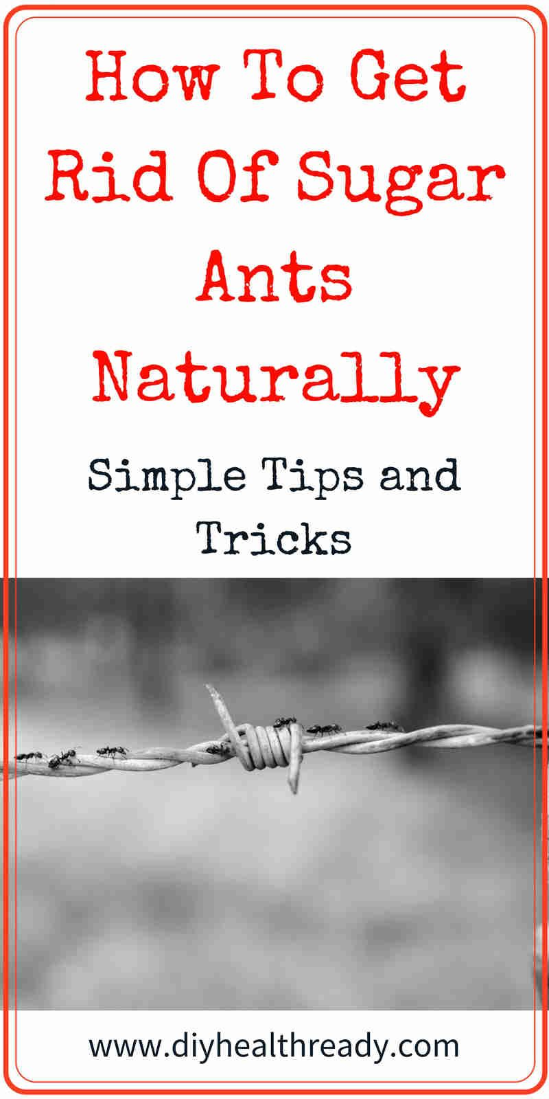How To Get Rid Of Sugar Ants Naturally: Simple Tips and ...