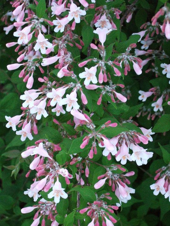 The most beautiful spring flowering shrubs flowering shrubs shrub beautybushoffers arching branches decorated with pink bell shaped flowers in mightylinksfo
