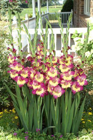 Gladiola Dynamite Flower Garden Bulb Flowers Flowers