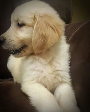 Litter Of 2 Golden Retriever Puppies For Sale In South Easton Ma