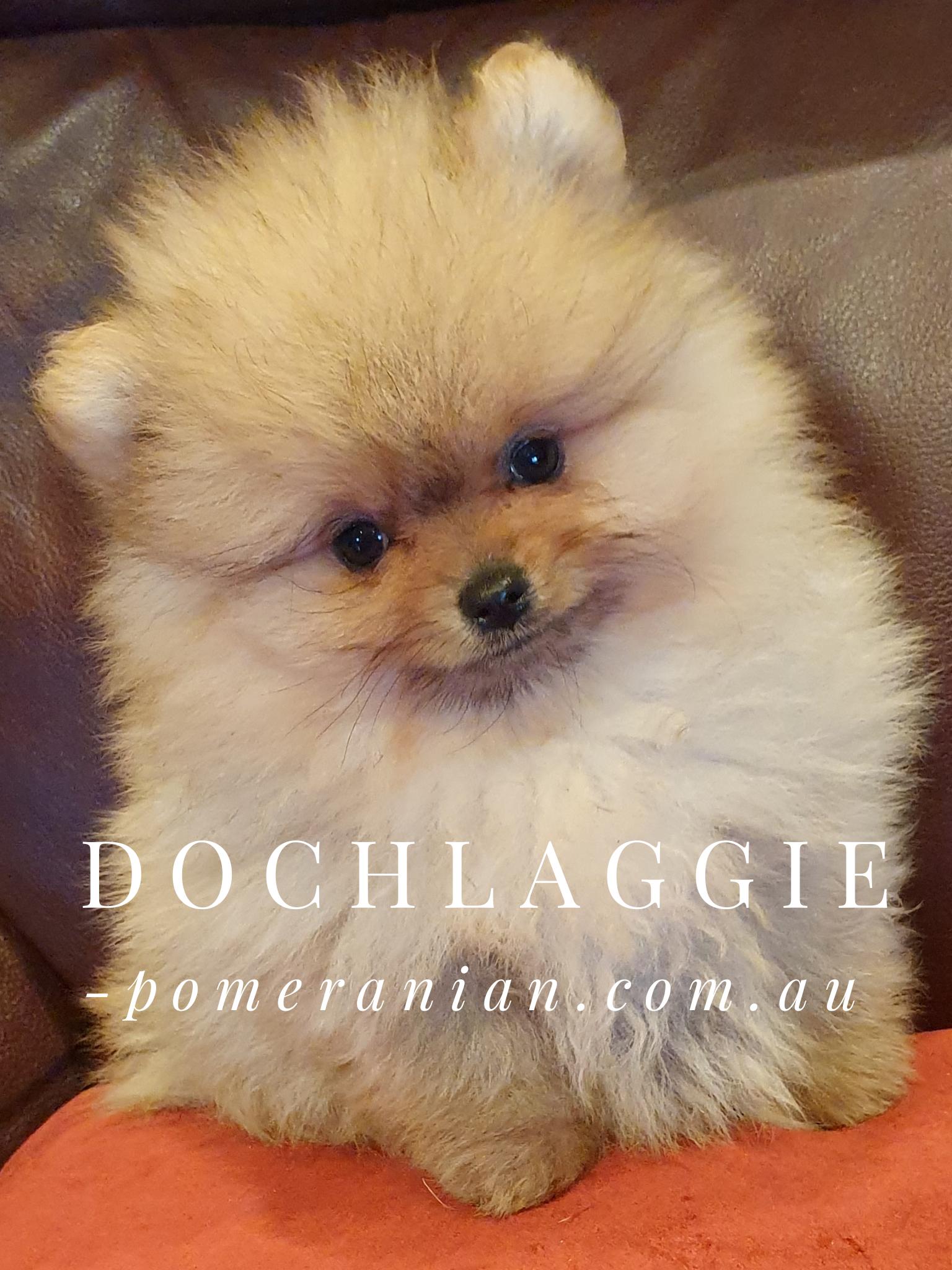 Supreme Champion Dochlaggie Dragon Double Pomeranian Puppy Puppies Pomeranian
