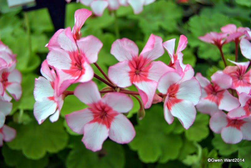 Scottow Star Single Zonal Pelargonium Geraniums Flowers Garden