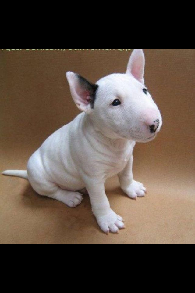 Baby Bullterrier Bull Terrier Puppy English Bull