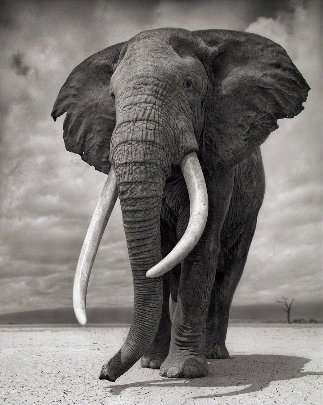 Elephant on Bare Earth, Amboseli From a unique