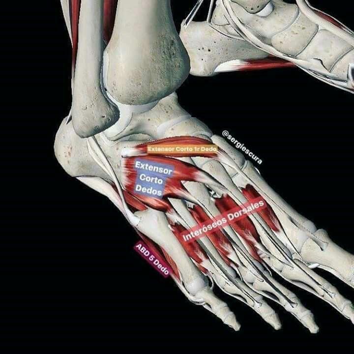 Pin de Taniuskaya Ruz en Anatomia, Fisiología, Biología | Pinterest ...