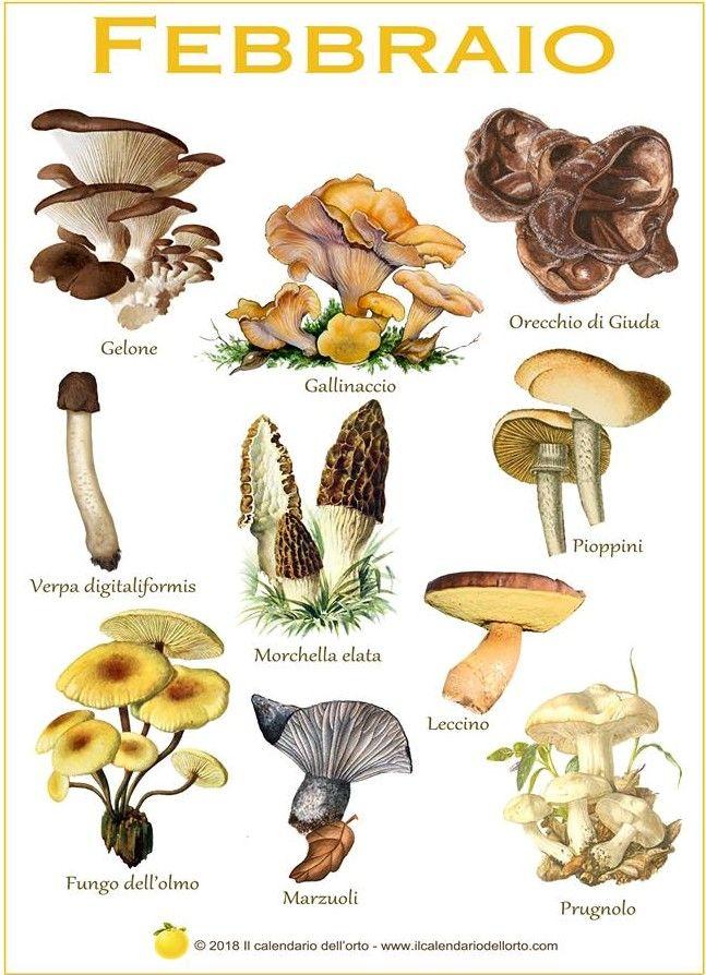 Calendario Funghi.Calendario Dei Funghi Commestibili In Italia Funghi E