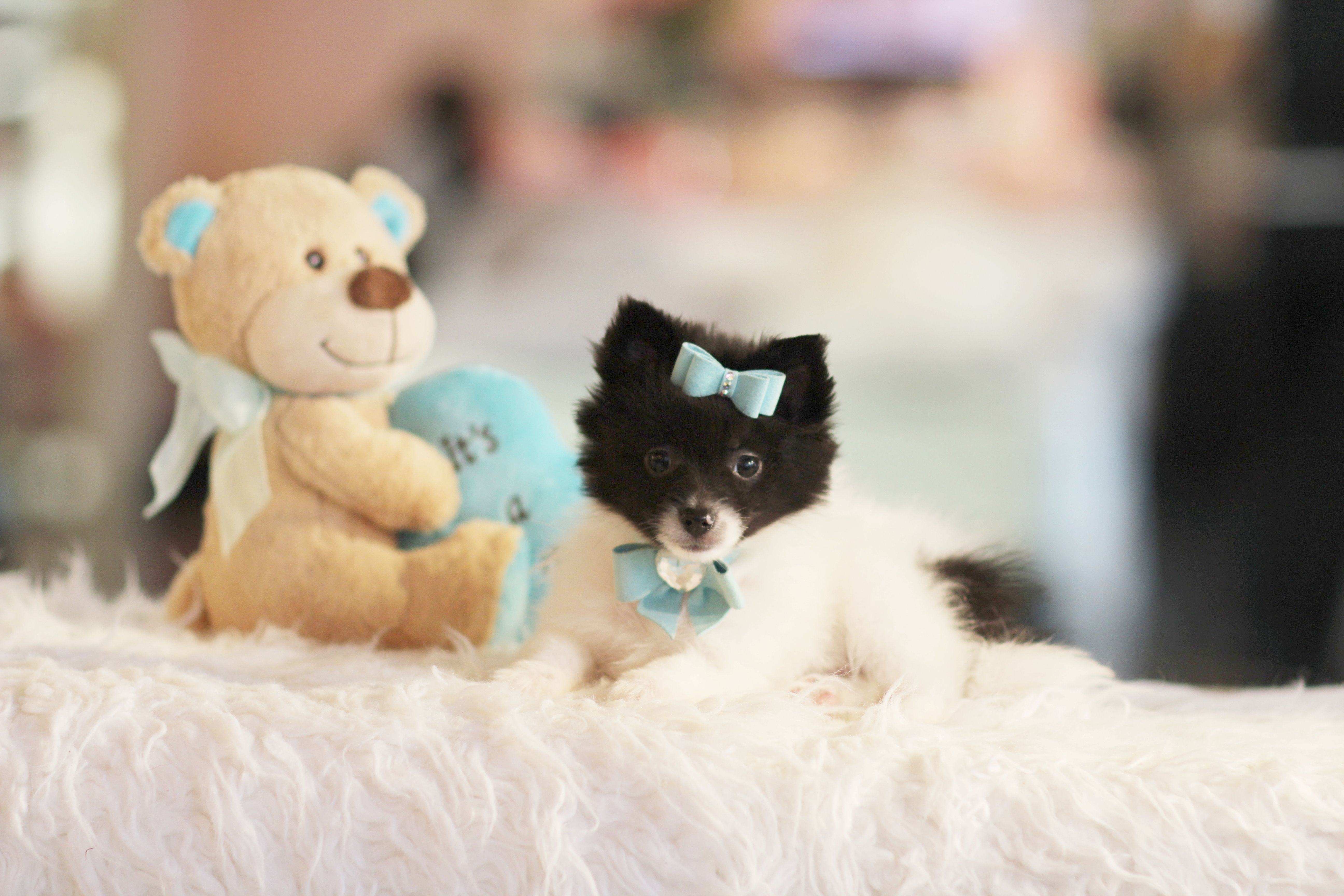 Teddy bear pomeranian puppies for sale in florida
