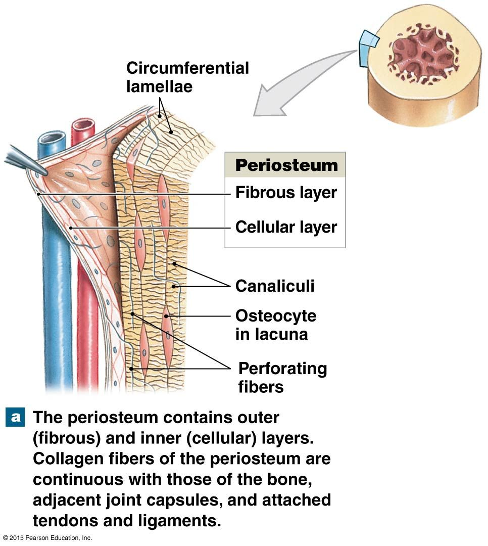 medium resolution of periosteum anatomy and physiology diagrams pinterest anatomy rh pinterest com shin of layers bone marrow diagram