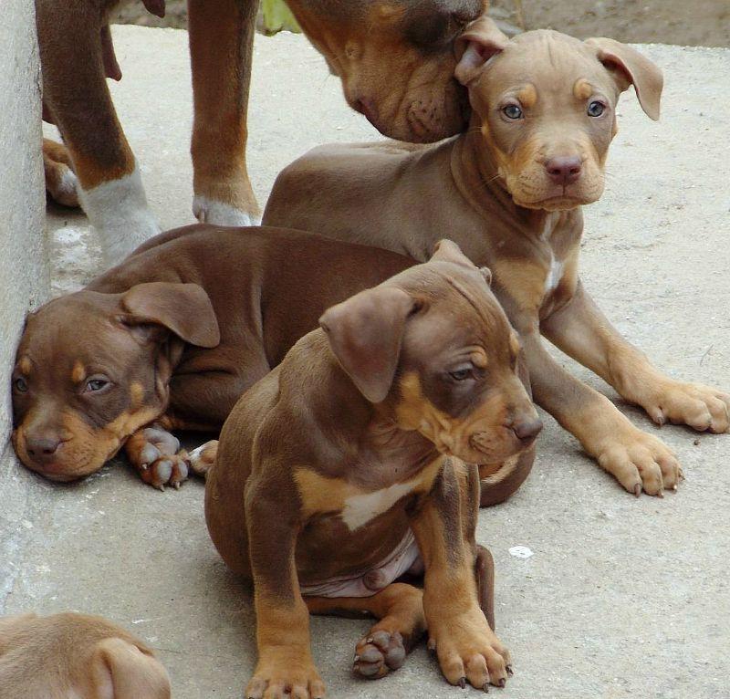 tri color pitbull puppies for sale near me
