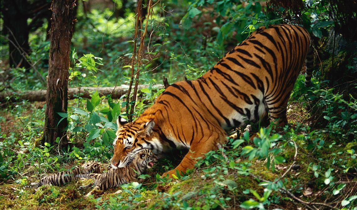 ProjectCat Tiger