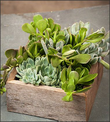 Bountiful Harvest Succulent Garden Planter - FREE Shipping!  $37.95 http://www.easytogrowbulbs.com/p-1678-bountiful-harvest-succulent-garden-planter-free-shipping.aspx