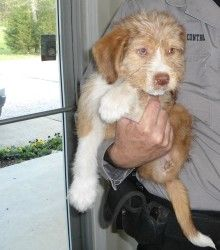 Brooke Shields Is An Adoptable Schnauzer Dog In Starkville Ms A 5 Month Old Mix Who Was Found Brooksville Garden
