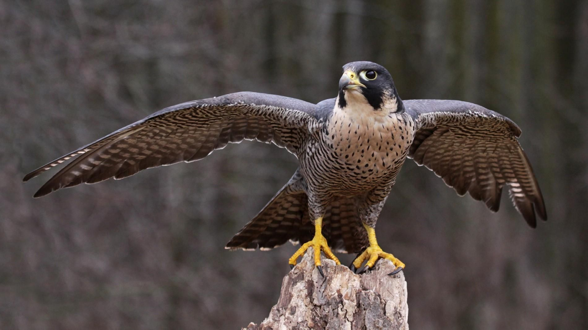 Goods From Central Asia Falcons Peregrine Falcon Animals Peregrine