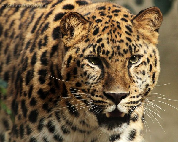 Animals in San Diego, United States (one most endangered animals wild amur leopard zoo) - a photo by rdj64