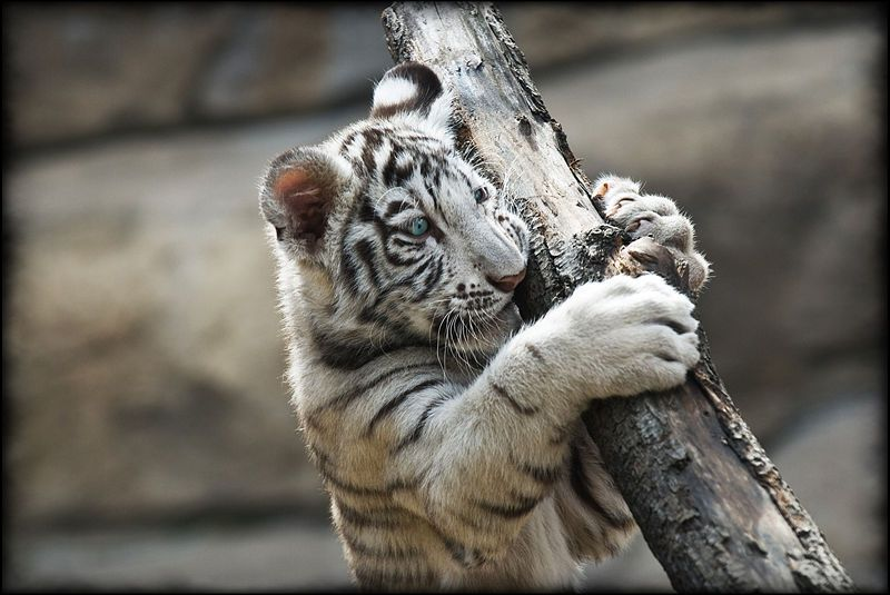 47 Tigers Oh My Ideas White Tiger Tiger Animals