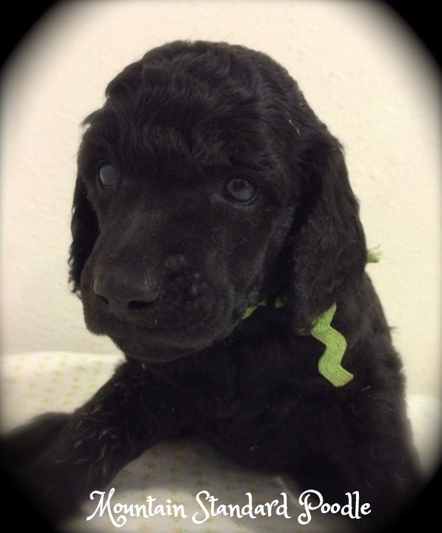 Mountain Standard Poodle Standard Poodle Puppies For Sale Poodle
