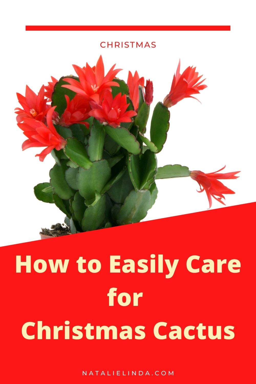 Photo of How to Care for Christmas Cactus