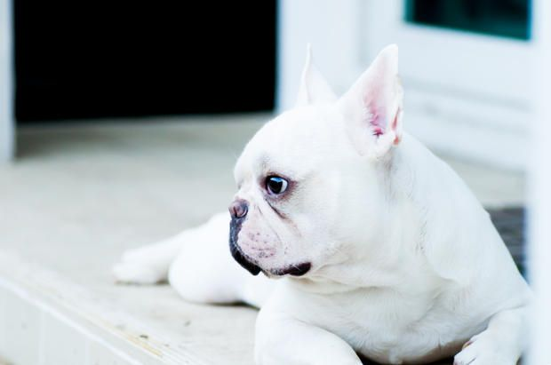 11 Facts About French Bulldogs With Images French Bulldog