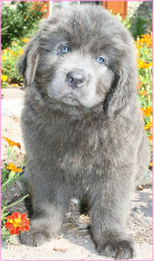 Opening Heaven S Doors Newfoundland Puppies For Sale In Pa