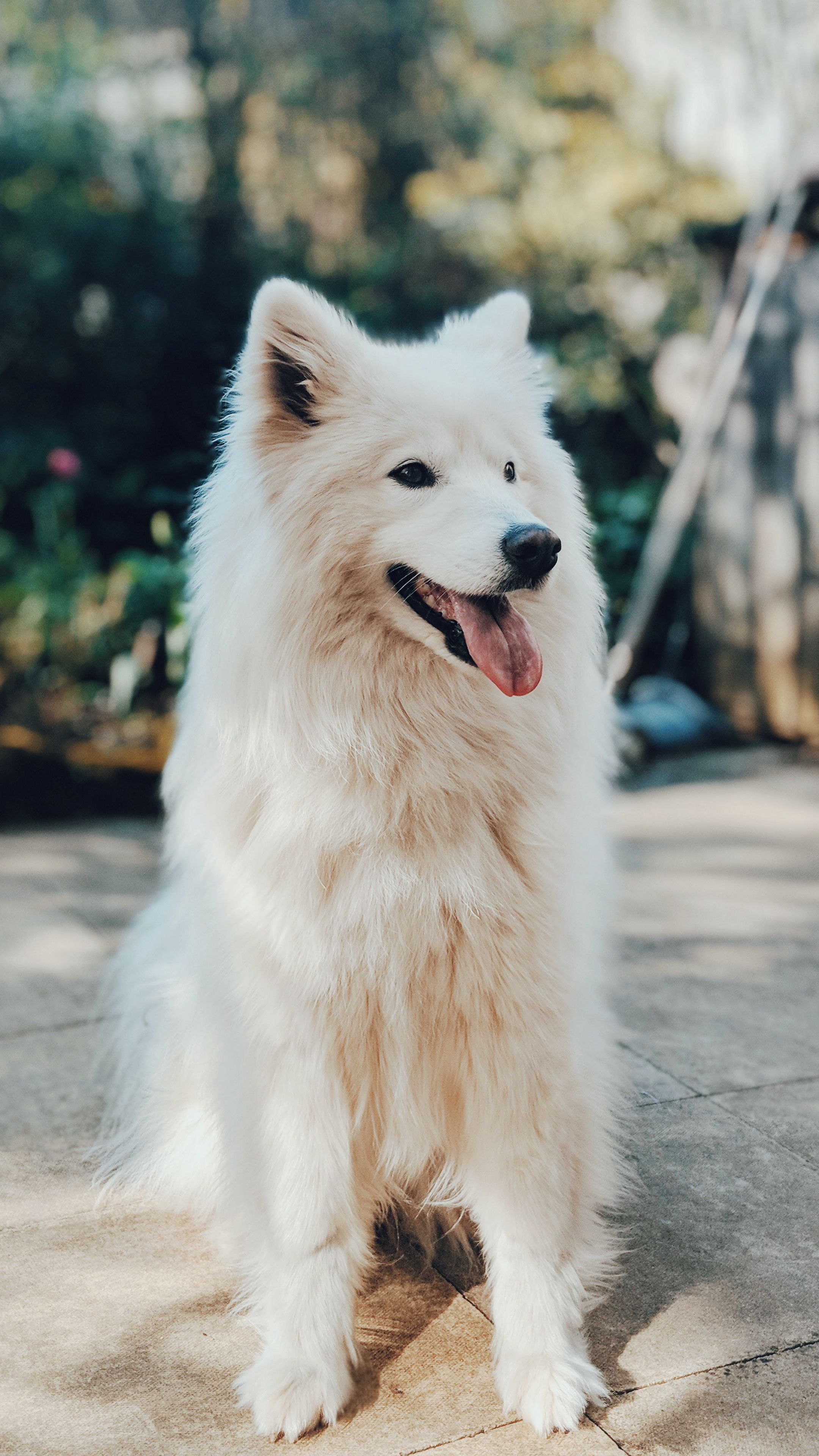 Animals Dog White Fluffy Wallpapers Hd 4k Background For Android Dogs Pet Dogs Fluffy Dogs
