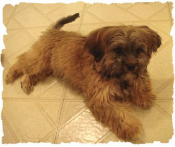 Shorkie Information Shorkie Pictures Adult Shorkies Pictures Dogs