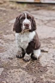 Image Result For Spaniel English Cocker Mix Springer Spaniel Puppies Spaniel Puppies Dogs