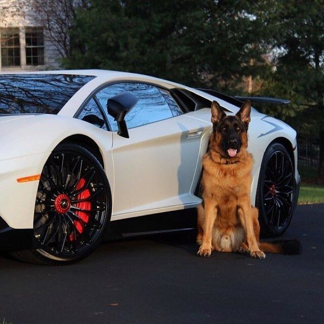 Lamborghini The Bodyguard Of Me Car Is Me Best Friend Dog Save Lamborghini White Friend Car Money Fast Black Audi Car Dogs