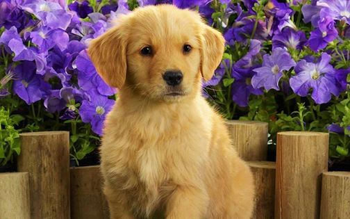 Puppy And Blue Flowers Golden Labrador Puppies Puppy Wallpaper