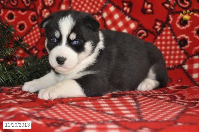 Balto Siberian Husky Puppy For Sale In Fresno Oh Siberian