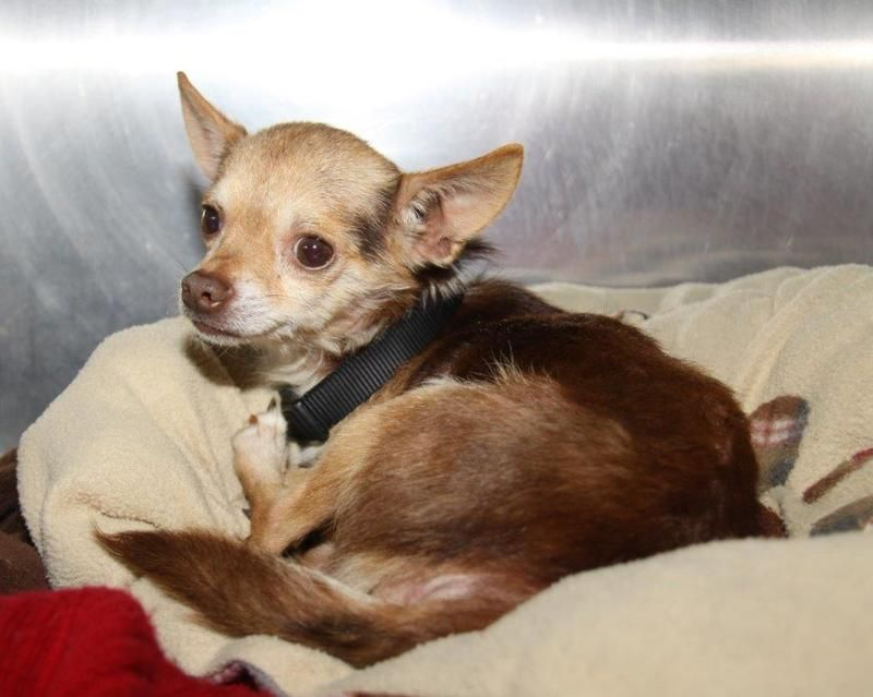 Peanut Is A 3 Year Old Chihuahua He Has Brown And Tan Short Smooth