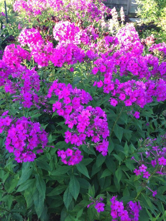 Purple Garden Phlox, Phlox Paniculata First Lady, Perennial Garden Plant  Great For Butterfly Gardens