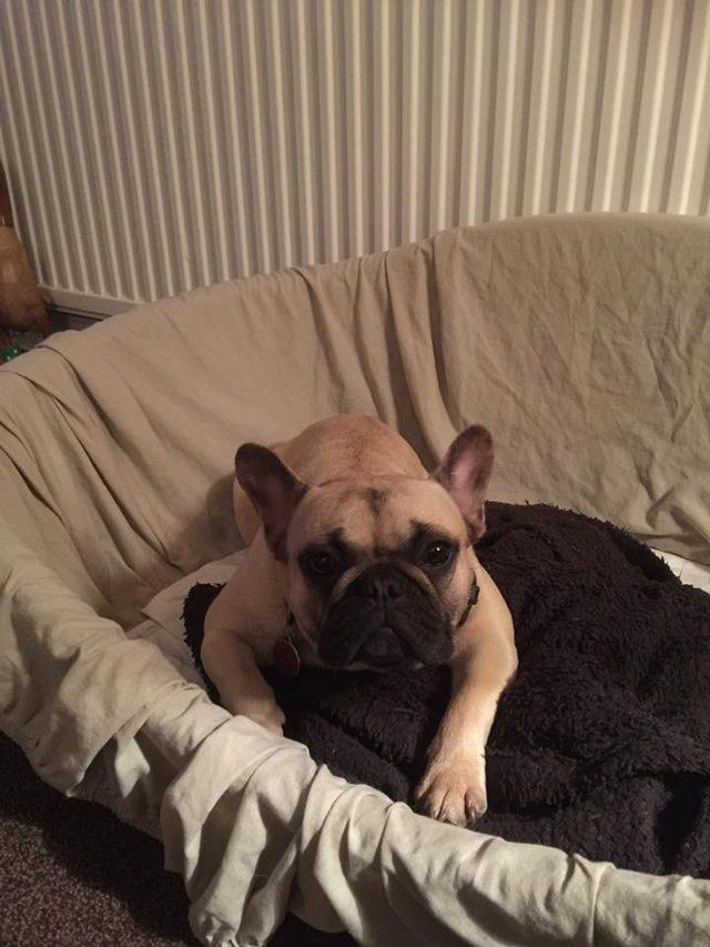 Pin On French Bulldog Bitches For Sale