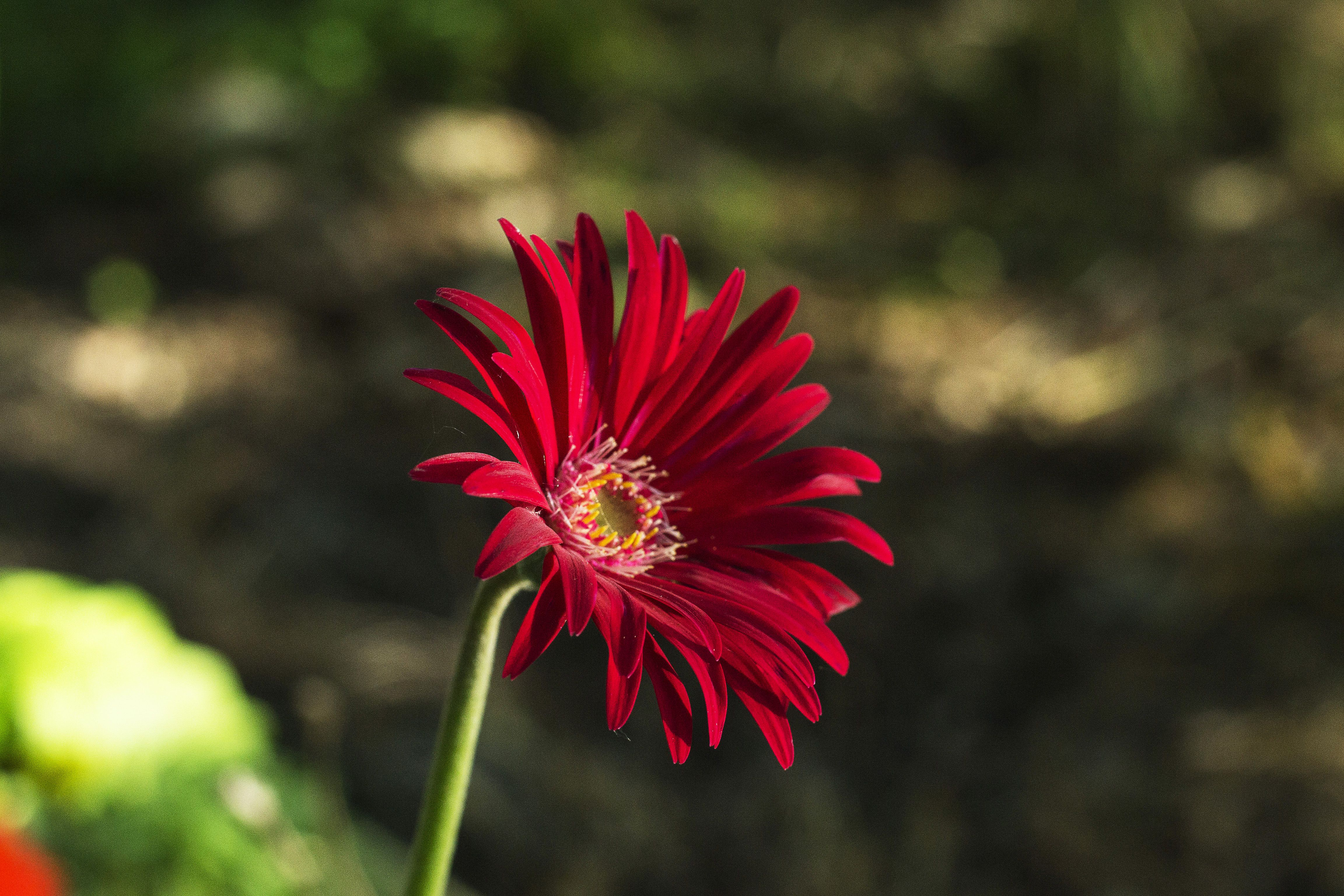 Red Aster Flowers Aster Flower Tattoos Aster Flower Flower Tattoo