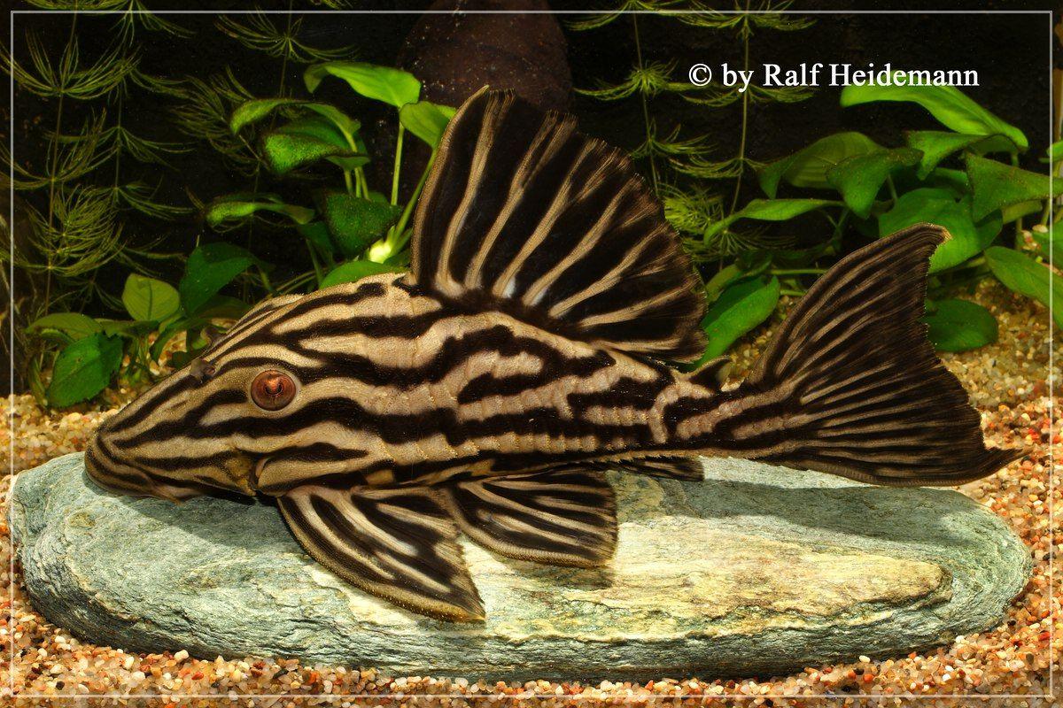 L027 Panaque Armbrusteri Xingu Aquarium Catfish Beautiful Fish Fish Pet