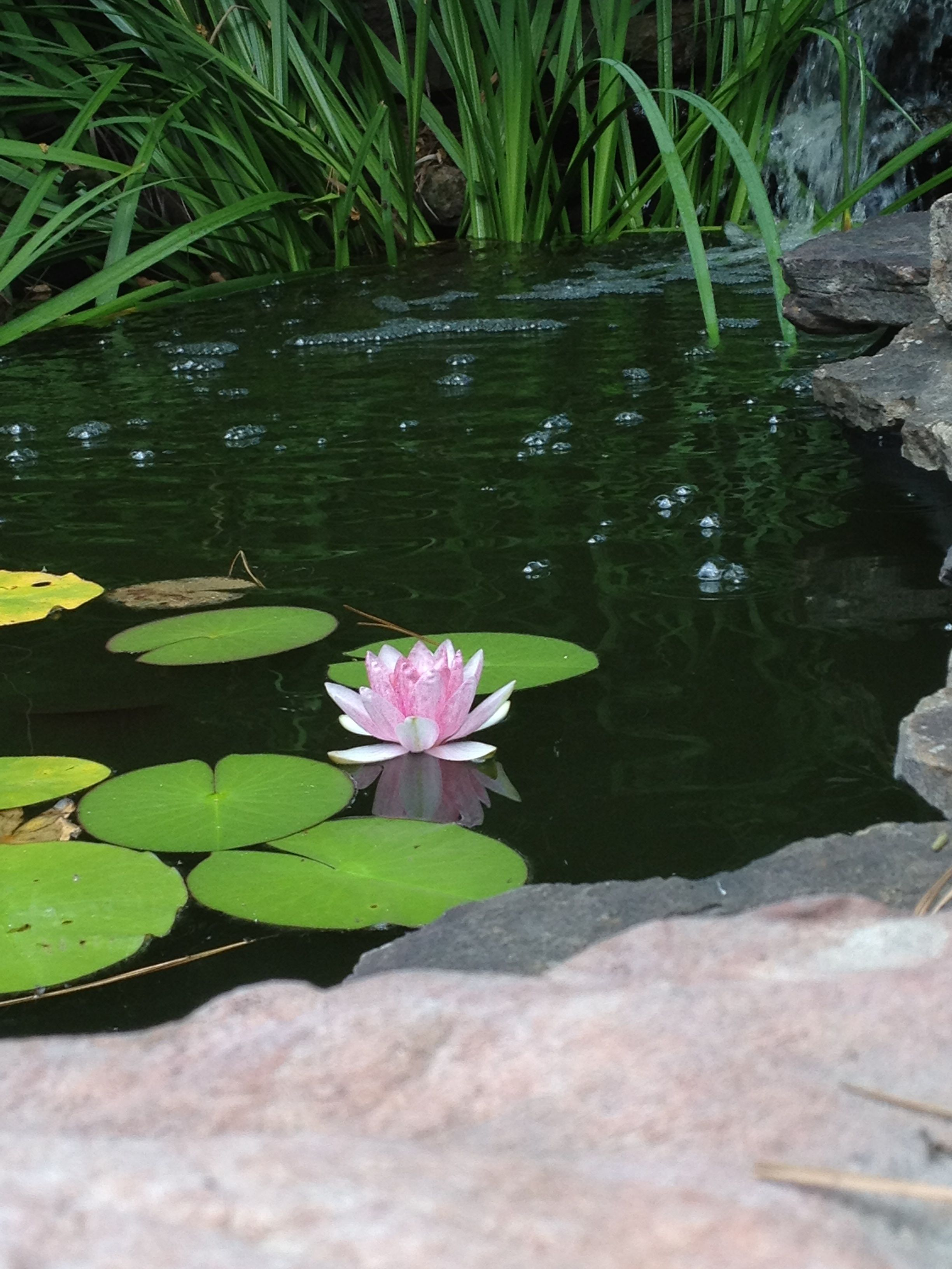 Our pond is blooming!