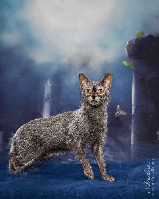 Werewolf Kitty Werewolf Cat Lykoi Cat Cats And Kittens