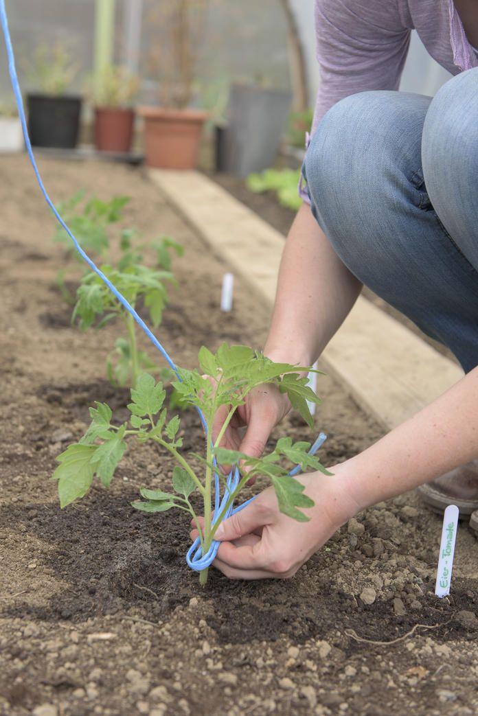 So Pflanzen Sie Tomaten Im Gewachshaus Tomaten Gewachshaus Tomaten Garten Gewachshaus Pflanzen