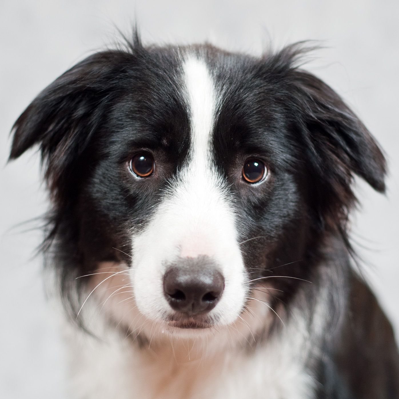 Clyde Love That Expression Border Collie Puppies Collie