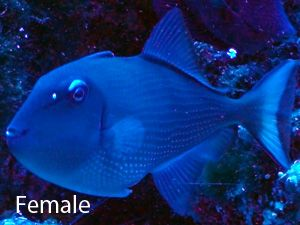 Blue Throat Trigger Fish Care Size Life Span Tank Mates Breeding
