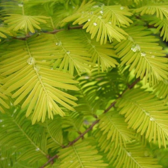 Metasequoia glyptostoboides 'Gold Rush', Dawn Redwood, is a deciduous conifer with soft yellow new growth. The needles hold their chartreuse color in summer before turning bronze-orange and dropping. A bright focal point for large gardens. Grows 15-20 feet in 10 years eventually reaching 75-100 feet tall x 25 feet wide. Full sun with moist soil. Hardy to -20F.
