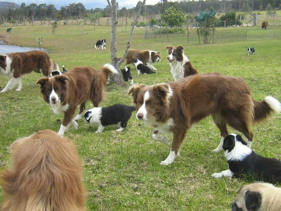 Wonderdogs Pups Joining In On A Game Collie Border Collie