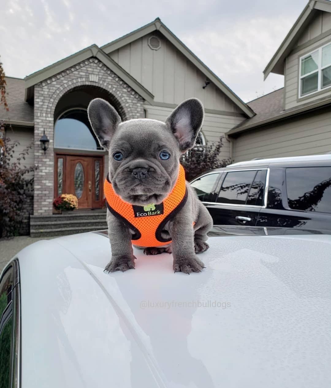 My French Bulldog Puppy Is Sooooooooo Cute I Love Him Music