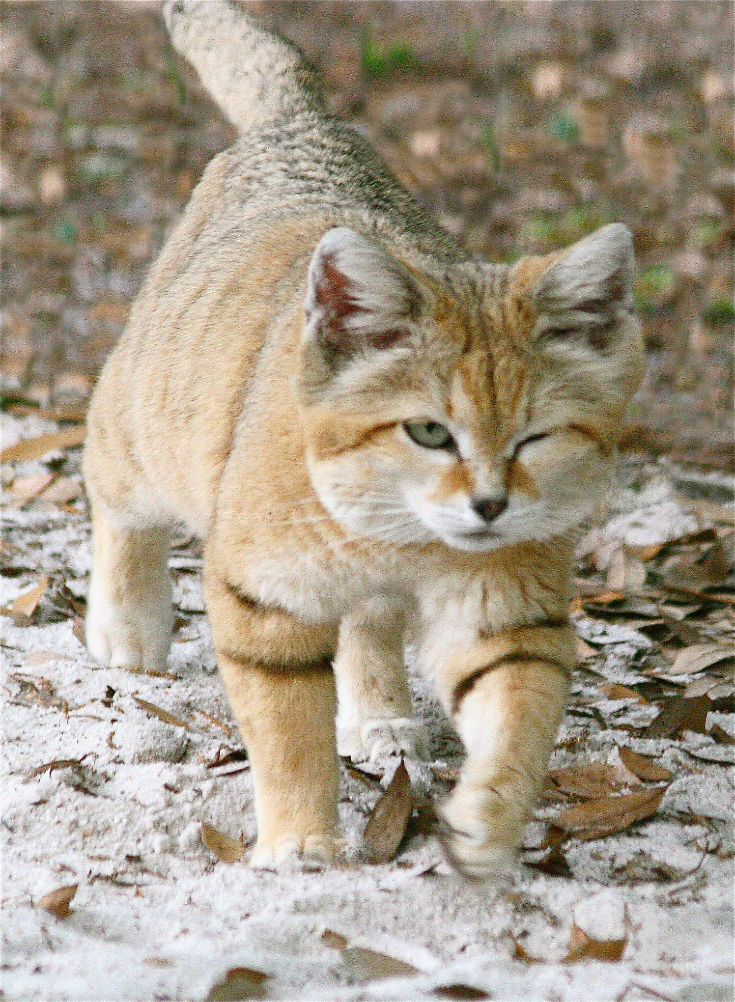 Suave Sand Cat Funny Big Cats Cats Sand Cat
