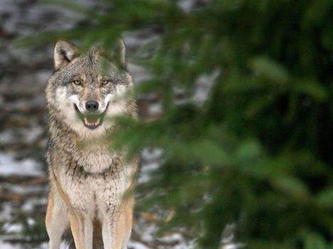 Petra Schmidt Shared Rain of Wolves Photo