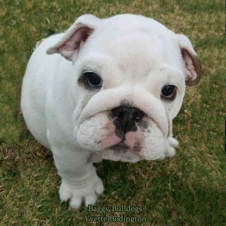 What do you think this Bulldog is thinking?