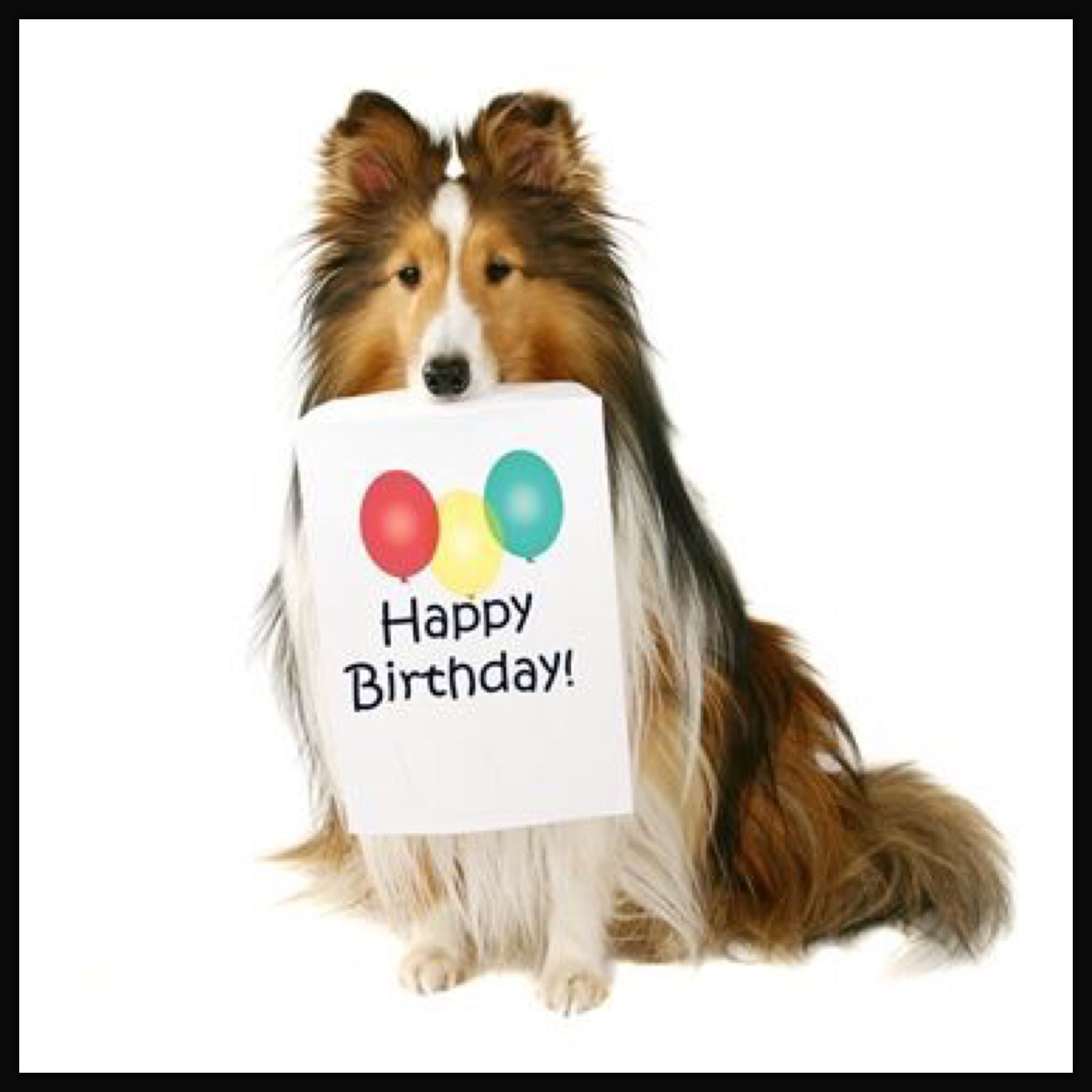 Birthday sheltie i love dogs pinterest beautiful creatures birthday sheltie kristyandbryce Choice Image