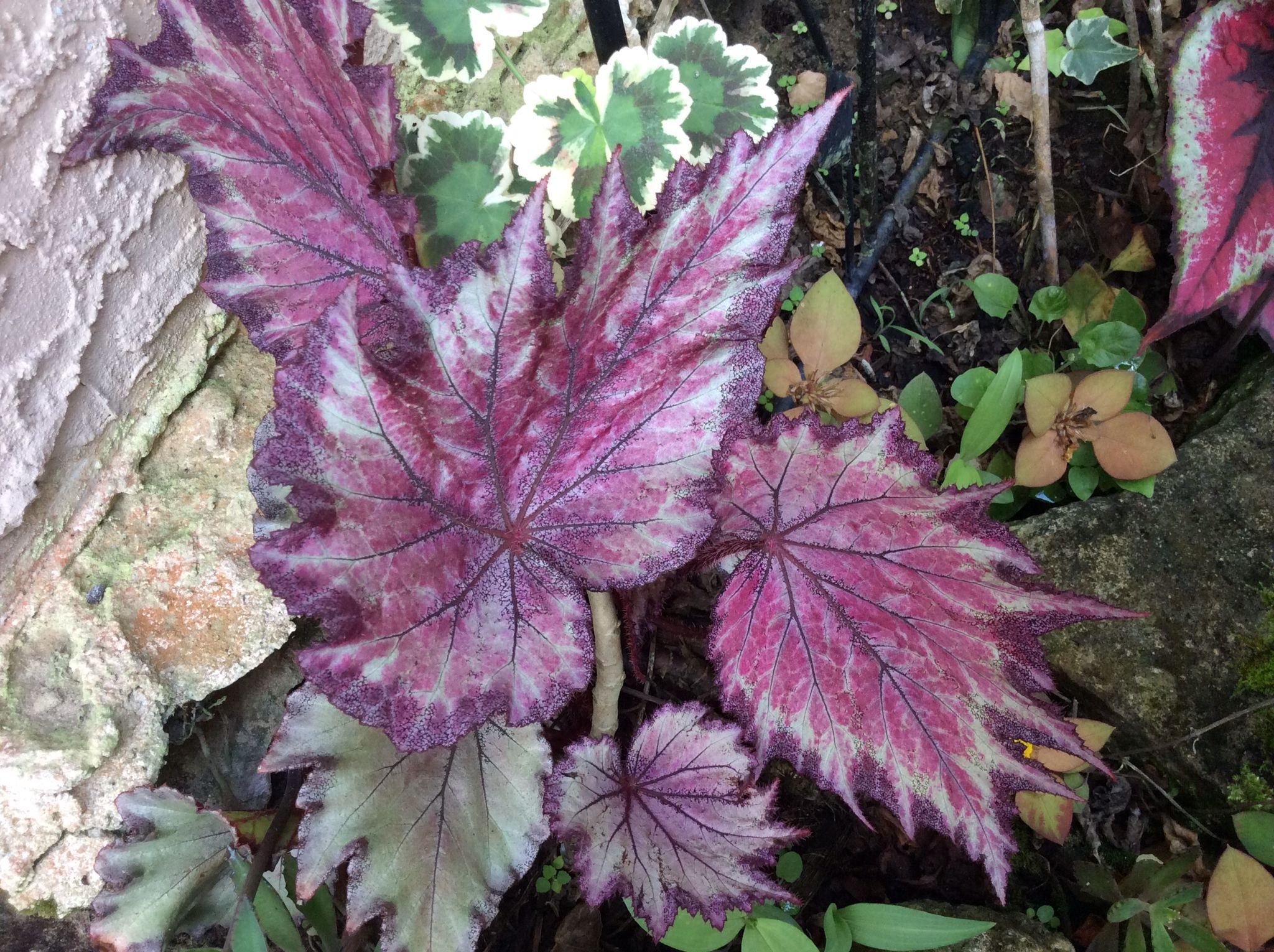 Angel wing begonia houseplants httpwwwhouseplant411