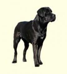 Adopt Gino Jersey Kane Ny On Cane Corso Corso Dog Cane